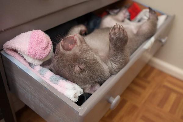 在妈妈的袋子里幸存 小袋熊窝在保育员衣柜抽屉睡觉