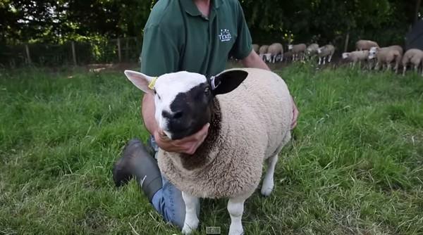 可爱的真羊图片