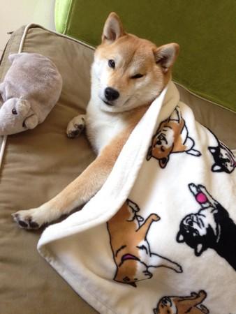 2015年06月17日 16:49   连小被被都是柴犬!也太可爱了吧!(尖叫)