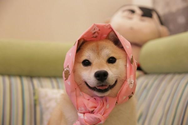 高清可爱柴犬壁纸