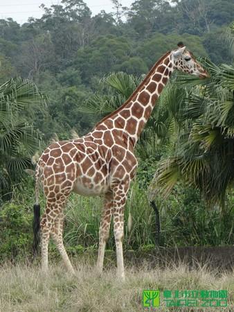 长颈鹿5个月死3只 动物园:无关近亲繁殖拟隔离饲养