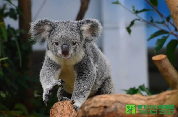 2015年11月2日 12:58 记者李依融/台北报导 动物园的无尾熊empress和