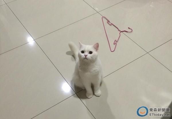 记者易景萱/采访报导 24小时看起来都很无辜的小白猫「咪萌」的前