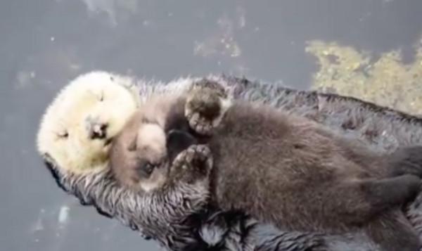 萌气外泄!水獭妈妈当木筏 抱著水獭宝宝水上飘