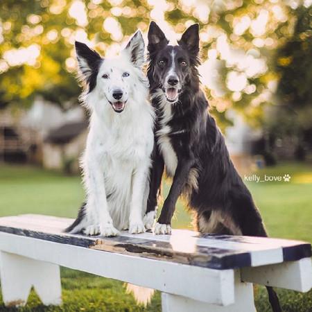 相亲相爱抱一起!双人偶像组合的边境牧羊犬envy&zain