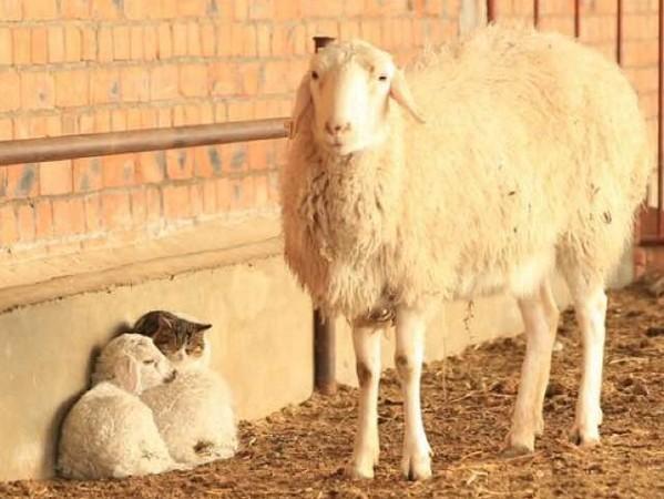 新疆的冬天好冷!浪猫畏寒钻进农舍 和小羊相依偎取暖