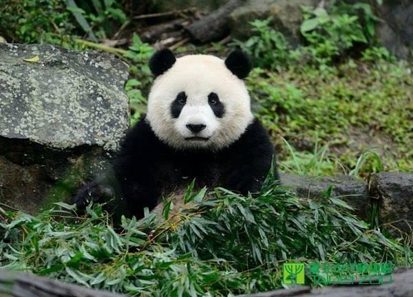 可爱的大熊猫动作慢 原来是因为代谢慢