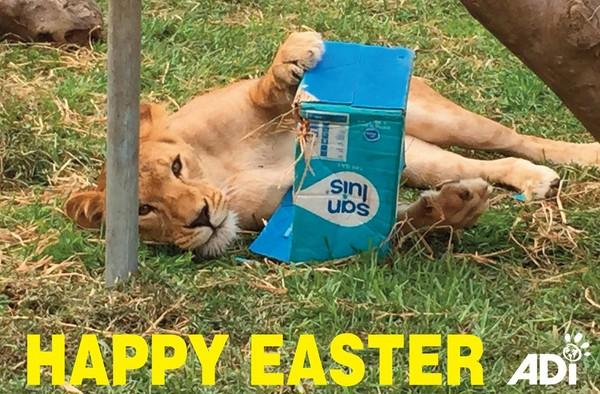 曾在马戏团受苦 被救援狮子得到「复活节礼物」开心翻