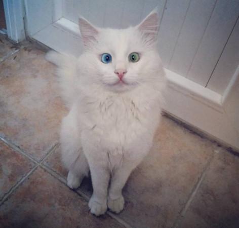 异色瞳又斗鸡眼土耳其传奇美猫4个月征服1万刀塔冰球卡尔a出白色图片