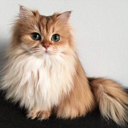 气质棕色长毛猫smoothie