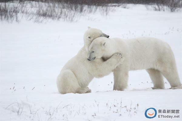 兩隻陌生的北極熊相遇,竟然給彼此一個擁抱才和平道別,像是克難環境中相互打氣:「兄弟,繼續加油!」(圖/溫芳玲攝影) 記者林育綾/綜合報導 不久前《國家地理》拍到成年北極熊吃掉小熊的殘忍影像,讓不少人驚訝牠們的自相殘殺。其實北極熊並非如此殘暴的動物,非萬不得已不會這樣做。「狐獴媽媽」溫芳玲在去年11月到加拿大瓦布斯克國家公園(Wapusk National Park)參加探索北極熊之旅,看到兩頭彼此陌生的公熊交會時,同時站了起來,卻沒有任何打鬥,只是做出擁抱般的動作,便和平分開、各走各的路,像是在克難環境