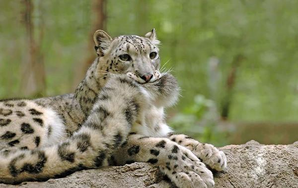 而大型猫科动物给人的既定印象通常都是霸气又凶猛的