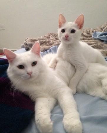 小白猫逼迫他当猫奴 这麼可爱只好乖乖就范了