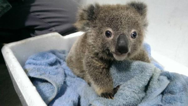 动物园解说保母揭密 无尾熊其实不是熊!也有尾巴