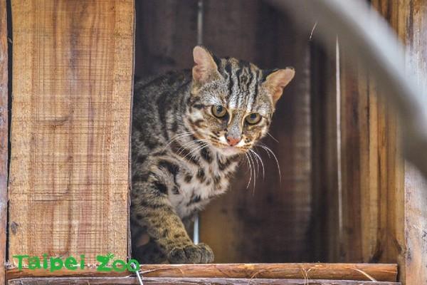 存的猫科动物石虎