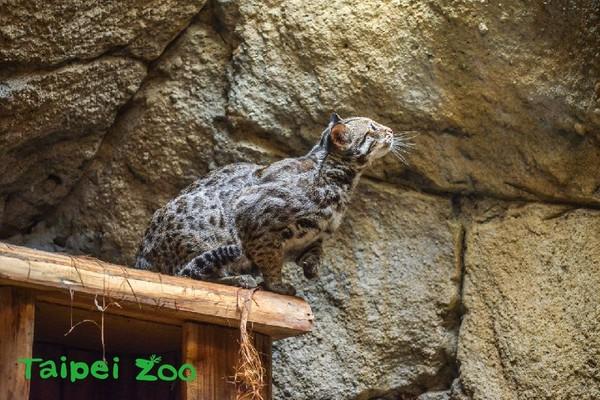 野外的石虎喜歡在晨昏和夜晚活動,集寶在動物園也是傍晚開始活動,但是今年的除夕,動物園從監視器觀察到集寶竟一反常態地在上午11點輕鬆玩耍。或許因為這是動物園一年中唯一沒有開放的日子,集寶也順勢享受難得的清靜,就像在野外的獨行俠石虎一樣,在保育員準備的棲架上玩得不亦樂乎。 集寶是隻個性很謹慎的石虎,即使是天天照顧牠的保育員也無法輕易接近,因此想要知道牠的體重很難透過動物訓練達成。保育員決定先將體重機放在展場裡,讓集寶熟悉它的存在,要量體重時將食物放在秤上,透過監視器就可以知道集寶的體重。 常被誤認成家貓的石