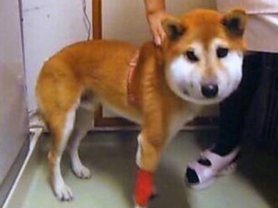 2012年11月12日 13:34 看到可爱的小柴犬被咬成猪头样,两岸网友大多