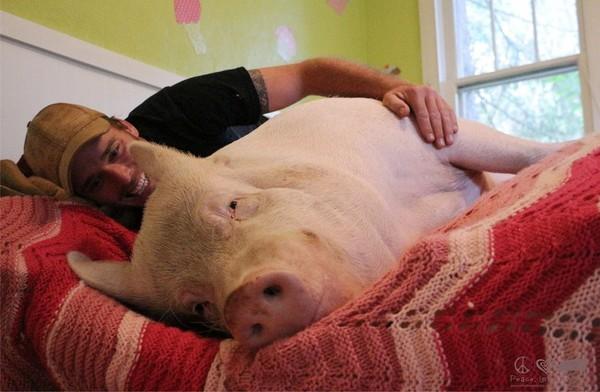 俩个猪睡一块的照片-养迷你猪却变超大肥猪,主人爱到 抱著猪睡