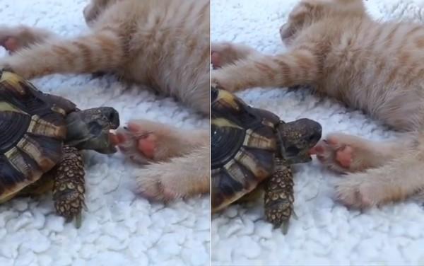 乌龟狂啃小橘猫的粉红色肉球 你当这是在吃草莓吗