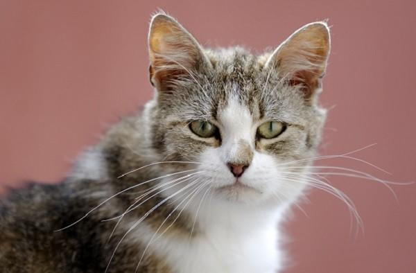 爱滋猫不会传染给人类,定期检查身体状况,它也能健健康康的过完猫生