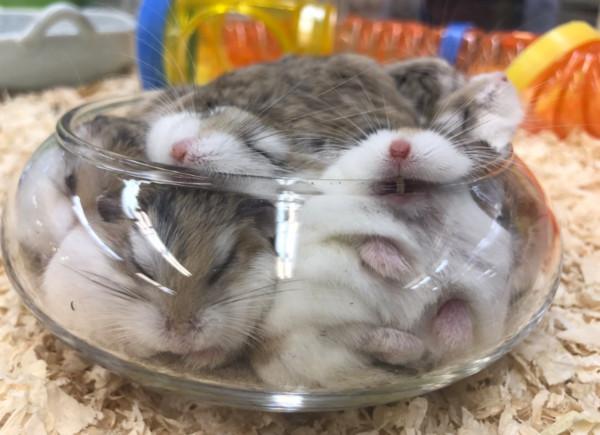 日本推主@pet7584常分享许多宠物店的可爱小动物,其中一群小仓鼠挤在