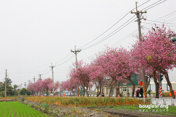 初春最后的粉色花树 云林樱花大道错过要等明年