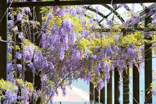 瑞里这间民宿有整片紫藤花墙超梦幻
