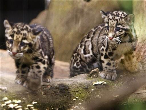 26种濒临灭绝的猫科动物
