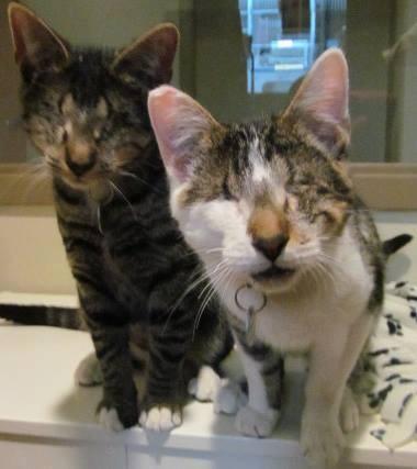 美国马里兰州防止虐待动物协会有一对6个月大的猫兄弟,因为天生眼睑