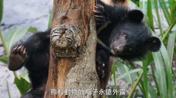 ▼熊科与猫科动物的众多差别中