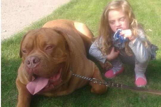 體積龐大的混種法國獒犬,誤把小女孩當成布娃娃般玩耍,闖下大禍。(圖/取自網路) 國際中心/綜合報導 英國一名4歲小女孩萊西(Lexi Hudson )周二跟自家的巨犬玩耍時,意外被咬死。 肇禍的混種法國獒犬(French Mastiff-cross),是萊西的母親從動物收容所裡領回來養的。 外媒報導說, 此一事件發生在萊斯特郡(Leicestershire)。萊西哈德森當時跟狗狗玩得正興起。突突。狗狗一個飛身把小女孩撲倒在地。當女孩的母親如鄰居發現時, 咬著小女孩的狗狗,像咬著一個破布偶娃娃般把她甩來甩