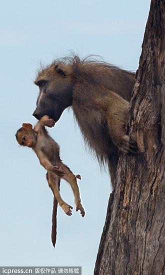 杀了母亲放过小孩 母狮瞬间心软… 公狒狒即刻救援