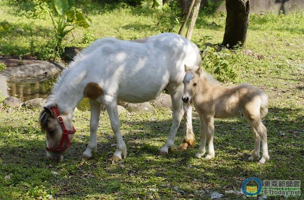北市動物園迷你馬小公馬與媽媽亮相了。(圖/台北市立動物園提供) 生活中心/台北報導 今年是生肖馬年,台北市立動物園迷你馬傳出喜訊,馬媽媽「小白」4月1日順利產下一隻小公馬「白龍」,母子均安。 動物園表示,迷你馬的懷孕期約11個月,馬媽媽生下「白龍」後,直到斷奶前都會跟小馬在一起。為了讓初次生產的迷你馬「小白」能安穩做月子,動物園特別讓這對母子先待在馬廄內的產房中,以加強日常照顧與觀察。 園方指出,這幾天「小白」母子終於開始到展示場放風,在天氣和動物狀況都許可的情況下,下午3點左右就能看到「白龍」跟著媽媽