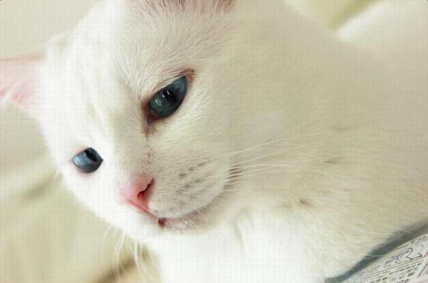 蓝眼白猫卖萌超美型 谁知道睡著后竟变这款