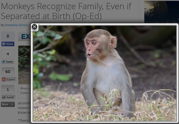 的研究顯示,研究人員認為,猴子只要看另一隻猴子一眼,就能夠知道牠們是否有親屬關係。 「有一些證據顯示,非人類的靈長類動物可以識別臉部相似的兩個個體,就像我們人類一樣,」杜克大學(Duke University)博士後研究員、這項研究的主要作者達娜(Dana Pfefferle)說,「我們發現,獼猴可以判斷出自己不熟悉的家族支系成員。」 在普通獼猴(rhesus macaque,恒河猴)的世界裡,一夫多妻制是很正常的,雌猴同一時間會與不同的雄性交配,因此很難確定孩子的老爸是誰;雄性也經常改變自身的社交群體,