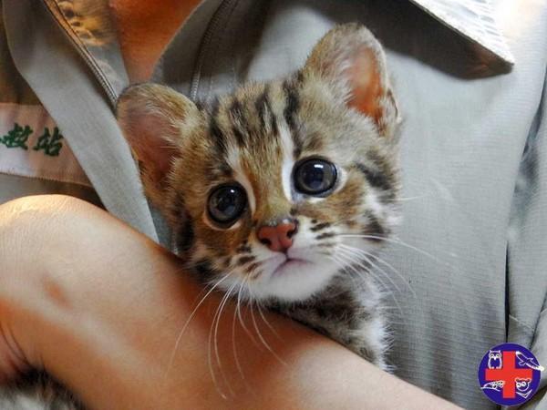 台湾仅存的猫科动物石虎剩不到500只