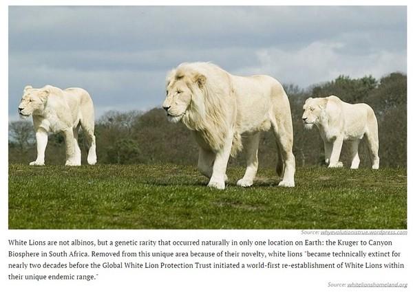 國際中心/綜合報導 美國知名網站「Distractify」,列出了26種「正在消失的野生貓科動物」,其中包括熟悉的獵豹、雲豹外,還有極為罕見的白獅子,他們不僅體型龐大還十分凶猛,還有利牙幫助捕食獵物,但是因為人類過度開發土地,導致生存棲地逐漸減少,盜獵者的濫捕也是數量減少的原因。  亞洲獵豹。(圖/翻攝自Distractify網站) 一、亞洲獵豹,是陸上奔跑最快的動物,奔跑速度最快可達時速113公里。最後一次是在1948年的印度南部發現,目前伊朗中部高原還有70-110隻的亞洲獵豹。  雲豹。(圖/達志