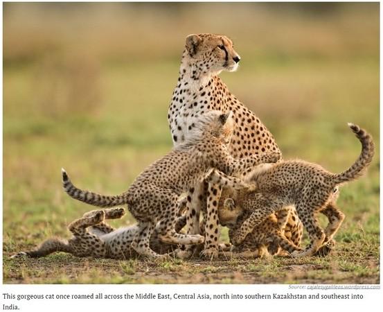 石虎,云豹将会消失! 26种濒临灭绝的猫科动物