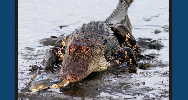 怒夾鱷魚鼻子的精彩瞬間。(圖/翻攝自phillanoue官網) 國際中心/綜合報導 在大自然中常常可以看到「小蝦米吃大鯨魚」這種以小搏大的戲碼,近日美國南卡羅來納州(South Carolina)的攝影師Phil Lanoue就拍到了「小螃蟹怒夾大鱷魚」的精彩鏡頭,而且這個小傢伙在夾完之後竟然還能全身而退,只能給牠一個讚了。 Phil Lanoue在他的網頁上描述了整個故事,其中一段還提到,小螃蟹不想要連打都沒打就認輸,所以今天牠是贏家,這暗示了無論最後是輸是贏,我們至少都應該要有上擂台的勇氣,十分勵志