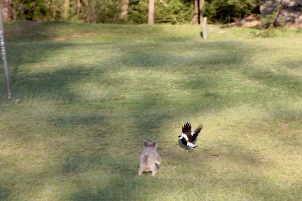 都更破坏动物栖息地 无尾熊搬家被喜鹊「狂啄」