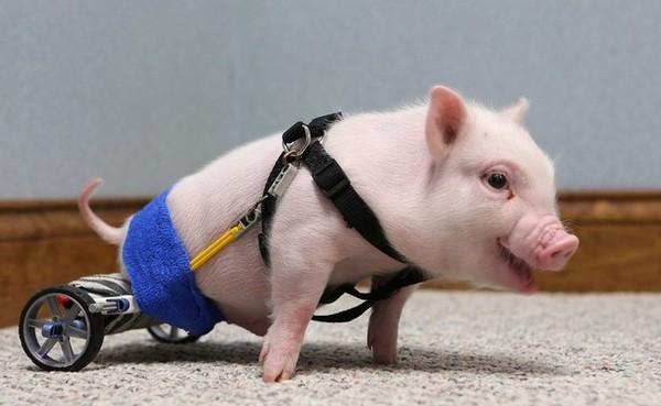 qq头像可爱动物小猪