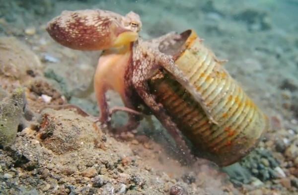 ▼章鱼是目前唯一会使用工具的无脊椎动物