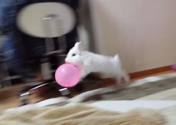 兔子少女心爆發,咬著氣球在家裡跳躍。(圖/取自YouTube) 生活中心/綜合報導 兔子是非常可愛的小動物,但不只是外型討人喜歡,牠們的一舉一動也是萌度100%;日本一名主人日前就記錄下家中1歲的小白兔Moko玩耍氣球的畫面,只見牠開心的咬著粉紅色氣球,像個孩子一樣,在家裡輕巧的跳躍,根本就像是個少女心爆發的小女孩,讓空氣中都瀰漫著粉紅色花朵,相當「古錐」! 而這段影片在今年2月上傳之後,也迅速地在網路上爆紅,甚至登上日本雅虎的熱門影音,吸引超多網友觀看,累積至今已經有28萬人次點閱,最近又被國外影音網