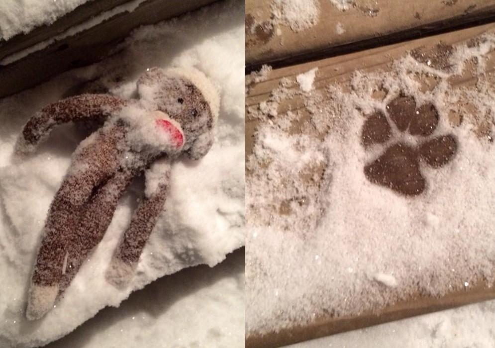 是誰把絨布猴子遺留在零下10度的雪中?(圖/翻攝自祥子()推特/下同) 國際中心/綜合報導 是誰?一隻模樣楚楚可憐的絨布猴子被丟在零下10度的大雪中,正當主人懷疑到底是哪位「兇手」如此大膽時,意外在「案發現場」發現清晰又可愛的腳印。原來,是他們家愛玩的柴犬,即使外頭冰天雪地,依然阻止不了它想要到院子奔跑的興致。 這隻柴犬名叫「Maru」,在日本可是小有人氣的狗明星,主人更不時在推特(Twitter)上發表它的生活照片。冬天到來後不只氣溫低,日本許多地方更下起大雪,但這都無法阻止Maru離