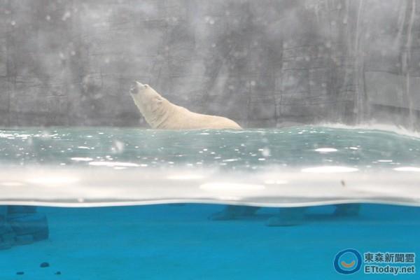 北极熊是新加坡动物园的人气明星