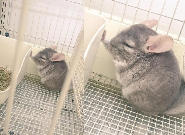 壁咚蔓延到动物圈!小龙猫示爱后竟睡著zzz