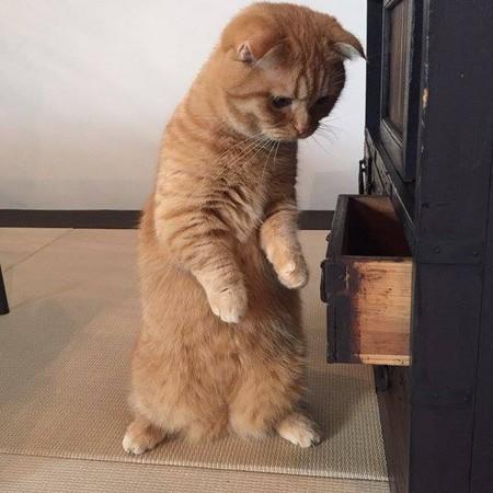 朕的國庫怎麼空了! 貓主子打開抽屜撈零食落空震怒