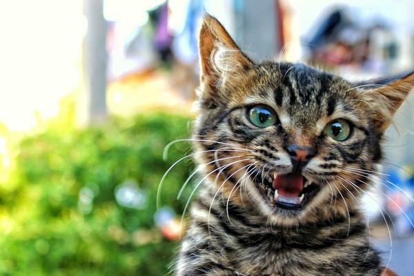 有些貓咪天生就愛和人類「抬槓」,貓奴說一句牠就一定要回一句。(圖/取自Librestock網路)