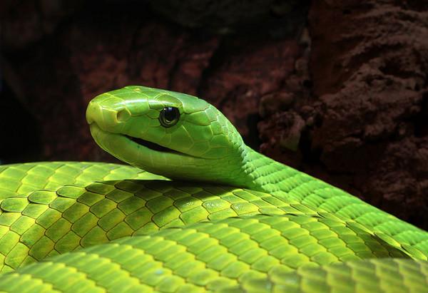 綠曼巴蛇毒液能治多囊性腎病變!
