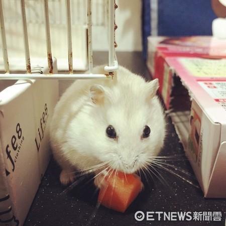 ▲▼會匍匐前進的小老鼠「波波」。(圖/翻攝自影片,網友KuanJung Chen授權提供)